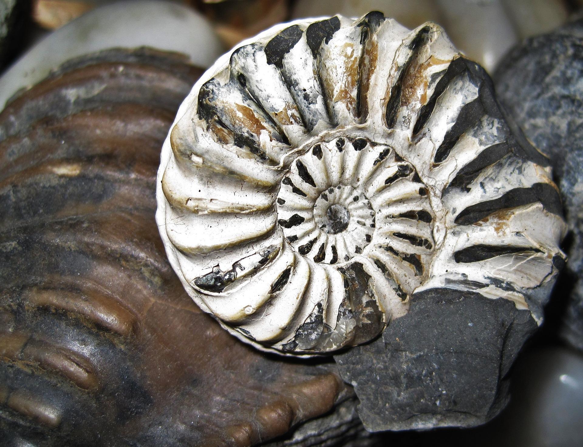 fossil-nautilus-1075011_1920